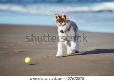 siberian husky puppy playing with a tennis ball on the beach