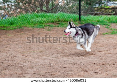 Siberian husky puppy running and playing at a dog park - stock photo