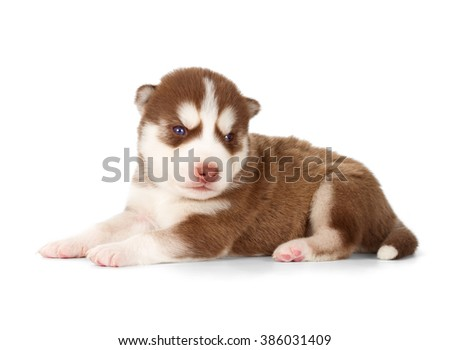 Siberian husky puppy. Side view, isolated on white. - stock photo