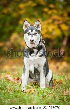 Siberian husky puppy sitting in autumn - stock photo