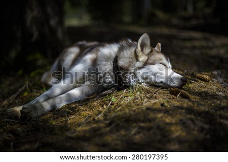 siberian husky puppy sleeping in the forest - stock photo