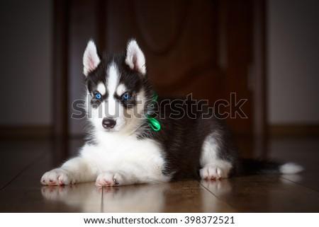 Siberian husky puppy with beautiful blue eyes - stock photo
