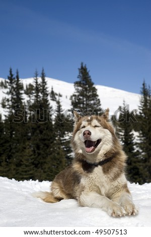 Siberian Husky resting on the snow in the forest. - stock photo