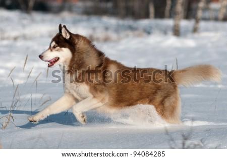 Siberian husky running in the snow - stock photo