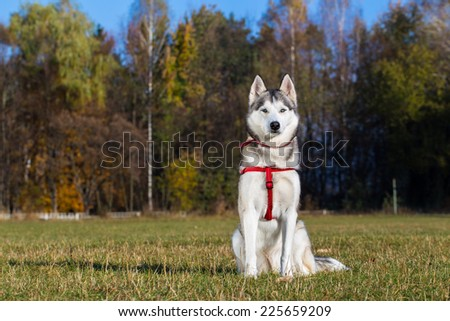 Siberian Husky. Siberian Husky on a walk in the park. - stock photo