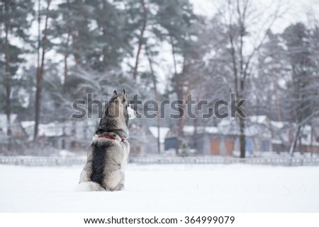 Siberian Husky sits on snow back to photographer. Winter walk in the park. - stock photo