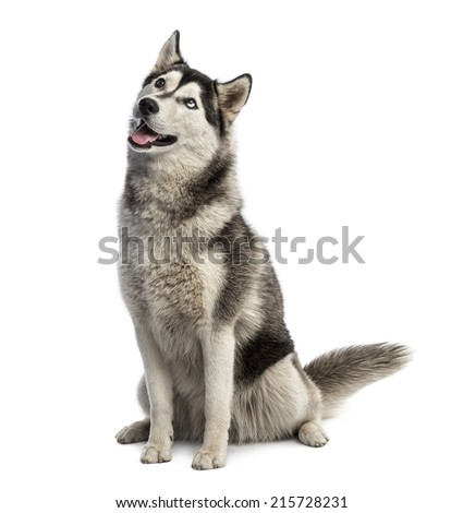 Siberian husky sitting and looking up - stock photo