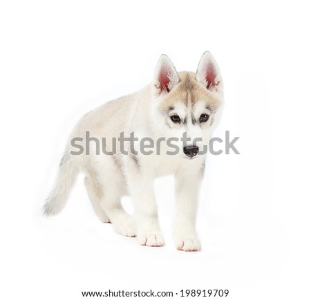 siberian husky small 2 months isolated on white background - stock photo