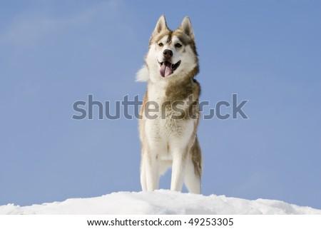 Siberian husky stands at snow mountain top - stock photo