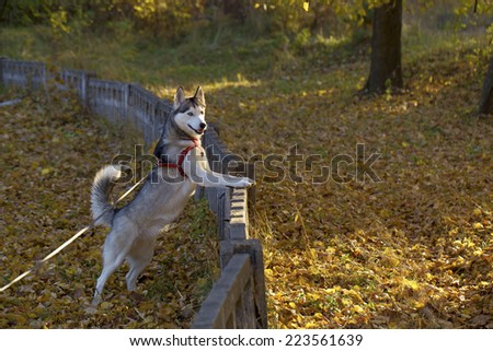 Siberian Husky. The Siberian Husky is walking in the park. Yellow leaves lie on the ground after the fall of the leaves.  - stock photo