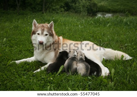 Siberian Husky with a litter of pups - stock photo