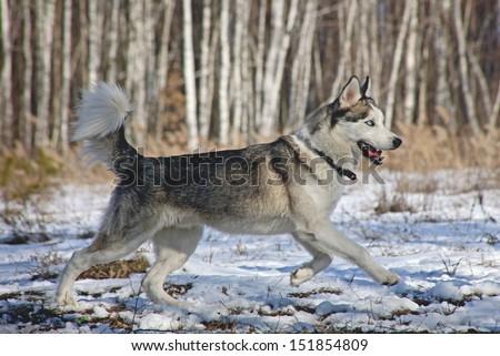 Siberian Husky with blue eyes portret  - stock photo