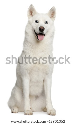 Siberian husky, 3 years old, sitting in front of white background - stock photo