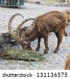 Siberian Ibex in zoo - stock photo
