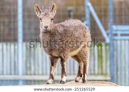Siberian ibex smiling into the camera - stock photo