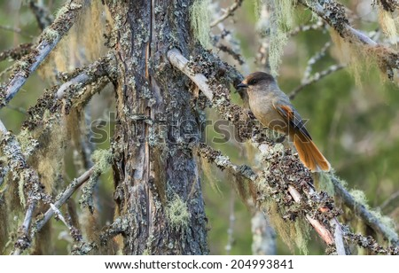 Siberian jay sitting on a branch of an old spruce