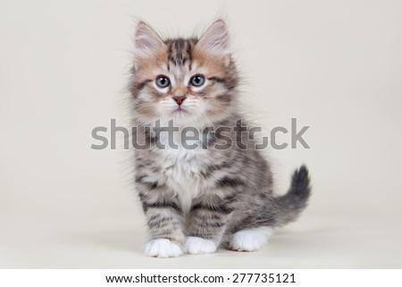 Siberian kitten - stock photo
