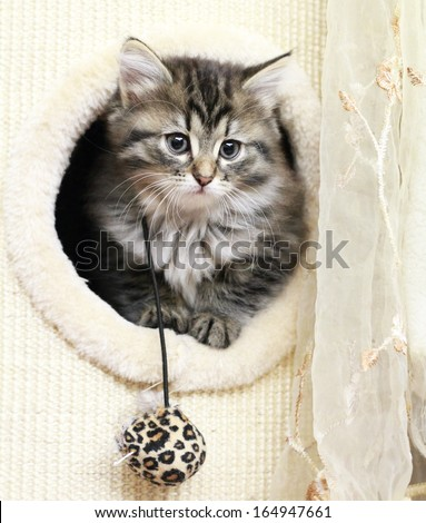 siberian kitten at two months,brown tabby version - stock photo