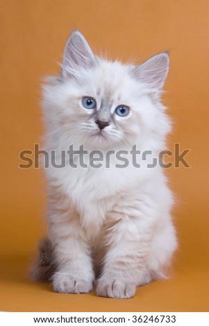 Siberian kitten on brown background - stock photo