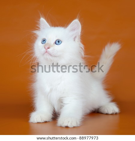 Siberian kitten on orange background - stock photo