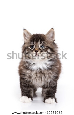 Siberian kitten on white background