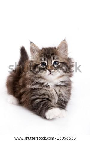Siberian kitten on white background - stock photo