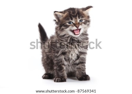 Siberian kitten on white background - stock photo