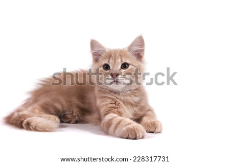 Siberian kitten on white background. Cat lie with. - stock photo