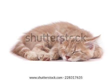 Siberian kitten on white background. Cat sleeps. - stock photo
