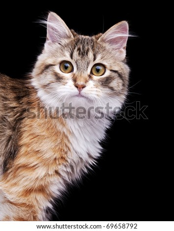 Siberian kitten sitting on black background - stock photo