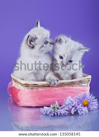 Siberian kittens - stock photo