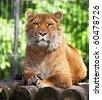 Siberian Liger - stock photo