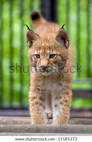 Siberian lynx cub in front - stock photo