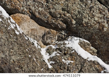 Siberian Lynx is walking on snowy rock. He is climbing down carefully. He is climbing down with quick movement. The background of the photo is rock. He has short tail.