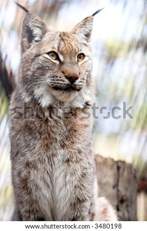 Siberian lynx kitten pays no attention for a photographer - stock photo