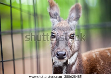 Siberian musk deer in a zoo looking to camera - stock photo