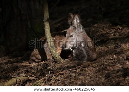 Siberian musk deer (Moschus moschiferus). Wildlife animal.