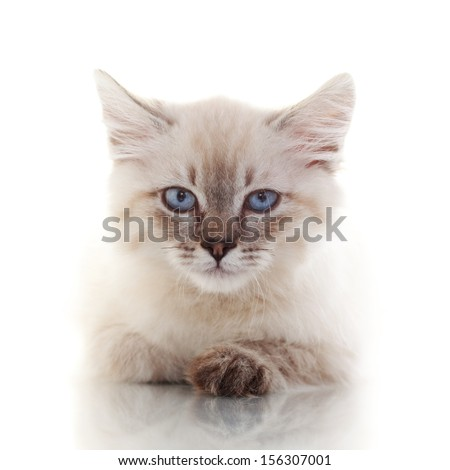 Siberian Neva Masquerade kitten close up portrait - stock photo
