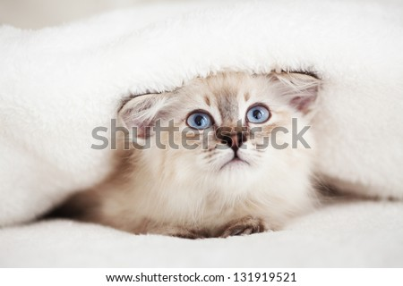Siberian Neva Masquerade kitten lying on a soft bad