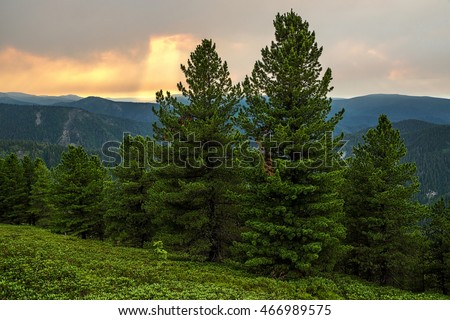 Siberian pine in Khamar-Daban ridge, summer evening
