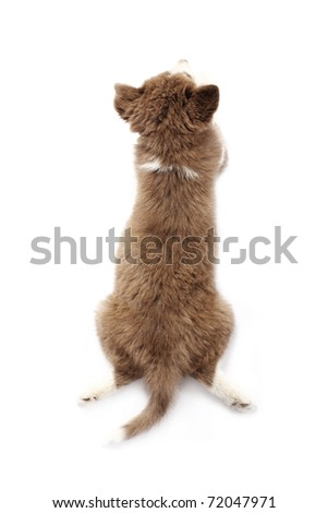 Siberian Puppy from top view - stock photo