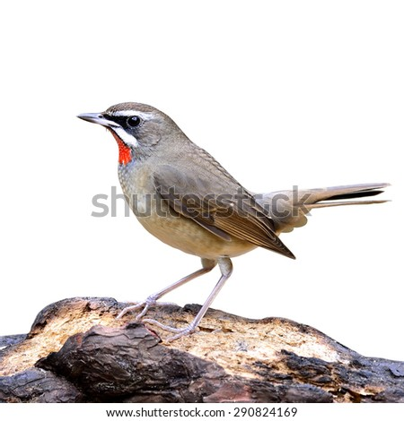 Siberian Rubythroat, the brown bird with red neck feathers showing its up tail while standing on the log isolated on white background