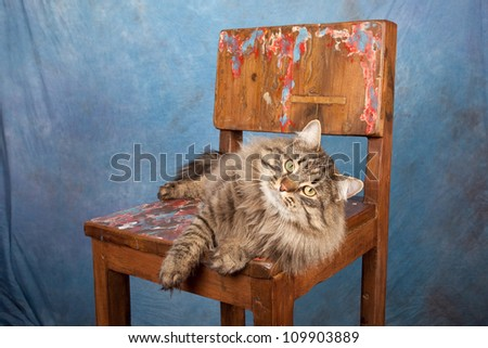 Siberian Russian Forest Cat on wooden chair on blue background - stock photo