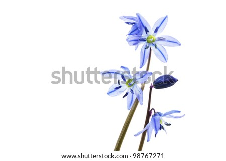 Siberian Squill (Scilla siberica) on white background