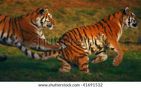 Siberian tiger assaulting another one in the early evening light - stock photo