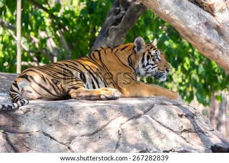 Siberian tiger at Safari World, Bangkok Thailand - stock photo