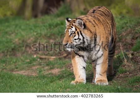 Siberian Tiger at the edge of a wood/Tiger/Siberian Tiger (Panthera Tigris Altaica) - stock photo