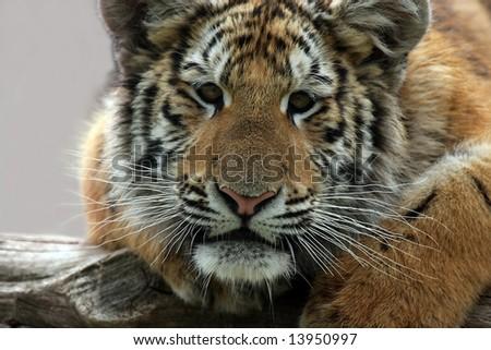 Siberian Tiger Cub - stock photo