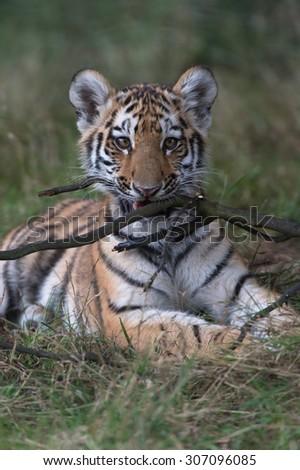 Siberian Tiger Cub chewing stick in dark forest/Amur Tiger Cub/Siberian Tiger Cub(Panthera Tigris Altaica) - stock photo