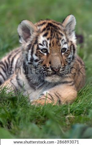 Siberian Tiger Cub in dark green grass/Amur Tiger Cub/Siberian Tiger Cub(Panthera Tigris Altaica) - stock photo
